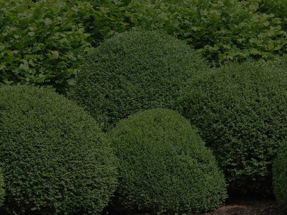 Jonesville Shrubs and Hedges